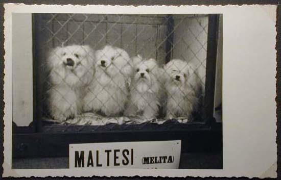 Mostra canina sotto il Fascismo-Hundeaustellung unter dem Faschismus 001 _25_.jpg